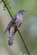 Adult Himalayan Cuckoo at Bidadari. Photo Credit: Alan Ng