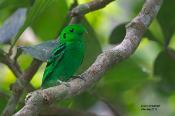 Male Green Broadbill at Panti, Peninsula Malaysia. Photo Credit: Alan Ng