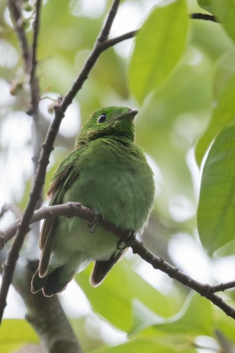 Juvenile Green Broadbill at East Coast Park. Photo Credit: Francis Yap