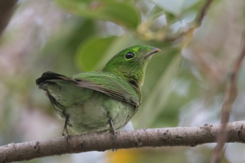 Juvenil Green Broadbill at East Coast Park. Photo Credit: Francis Yap