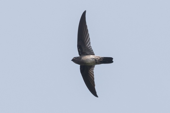 Plume-toed Swiftlet at Bukit Batok Nature Park. Photo credit: Francis Yap