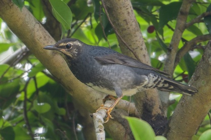 Siberian Thrush at Dairy Farm Nature Park. Photo credit: Francis Yap