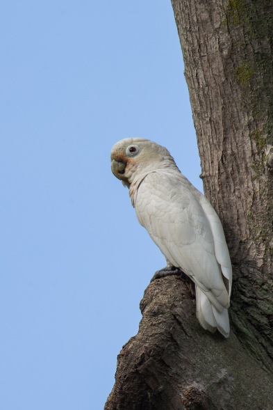 Tanimbar Corella at Bidadari. Photo credit: Francis Yap