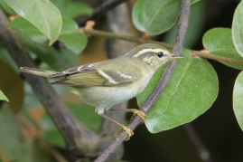 Yellow-browed Warbler at Fort Siloso. Photo credit: Francis Yap