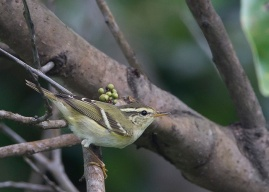 Yellow-browed Warbler at Fort Siloso. Photo credit: See Toh Yew Wai