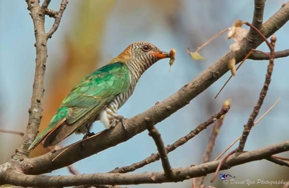 Asian Emerald Cuckoo (subadult) at Fort Siloso, Sentosa. Photo credit: David Yeo