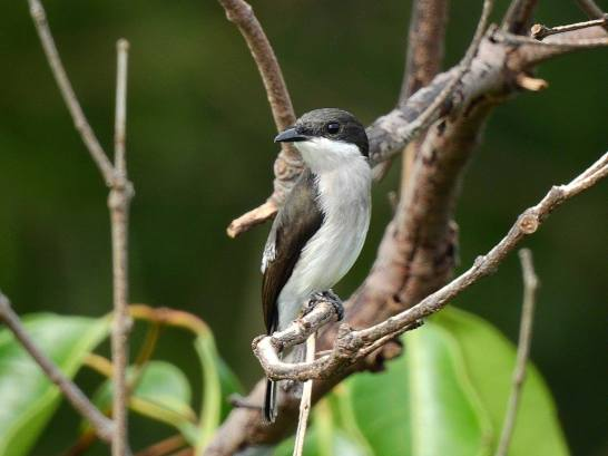 Black-winged Flycatcher-shrike at Jelutong Tower. Photo Credit: Thio Hb