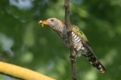 Asian Emerald Cuckoo at Fort Siloso. Photo credit: Francis Yap