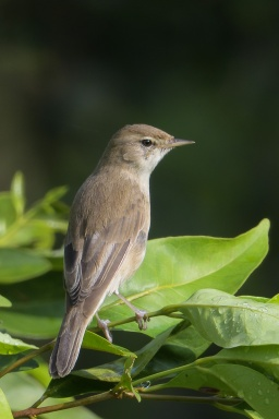 Booted Warbler at Kranji Marsh. Photo credit: Francis Yap