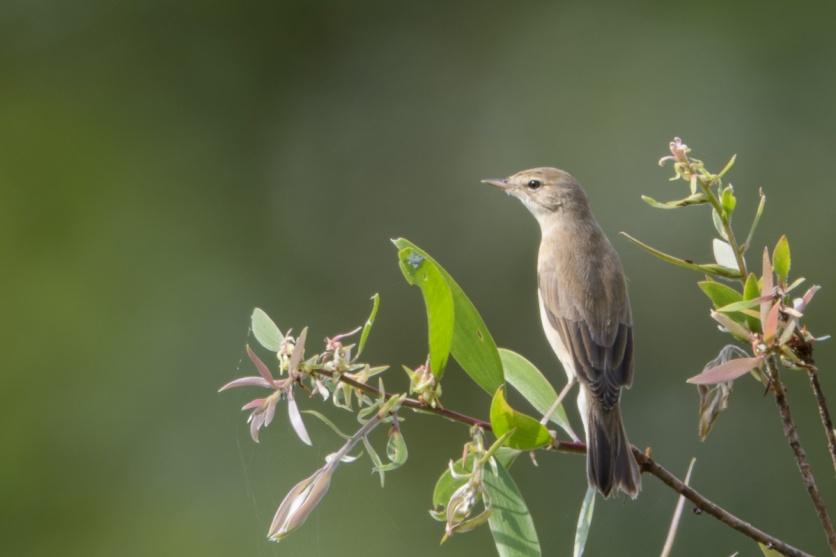 Booted Warbler at Kranji Marsh. Photo credit: Francis Yap