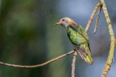 Asian Emerald Cuckoo at Fort Siloso, Sentosa. Photo credit: Adrian Silas Tay