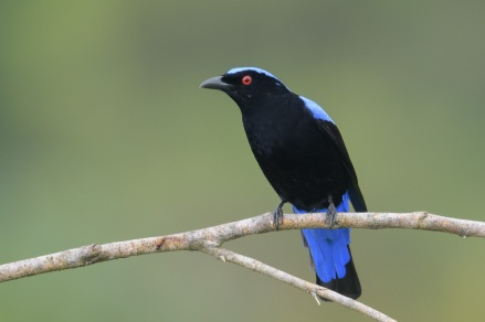 Male Asian Fairy-bluebird at Jelutong Tower. Photo credit: Francis Yap