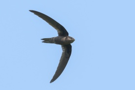 Asian Palm Swift at Bishan Park. Photo credit: Francis Yap