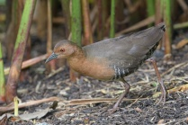 Band-bellied Crake at SBG. Photo credit: Francis Yap