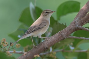 Booted Warbler at Kranji Marsh. Photo credit: Adrian Silas Tay