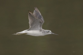 Common Greenshank at SBWR. Photo credit: Francis Yap