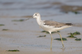 Common Greenshank at Seletar Dam. Photo credit: Francis Yap