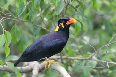 Common Hill Myna at Jelutong Tower. Photo credit: Francis Yap