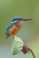 Common Kingfisher at Satay by the Bay. Photo credit: Francis Yap