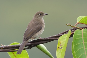 Cream-vented Bulbul at Jelutong Tower. Photo credit: Francis Yap