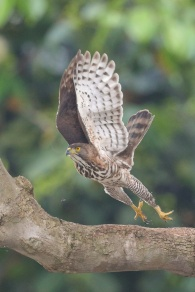 Adult Crested Goshawk at Bedok North. Photo credit: Francis Yap