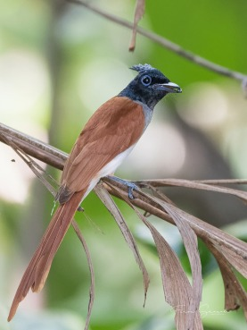 Indian Paradise Flycatcher at SBWR. Photo credit: Feroz Fizah