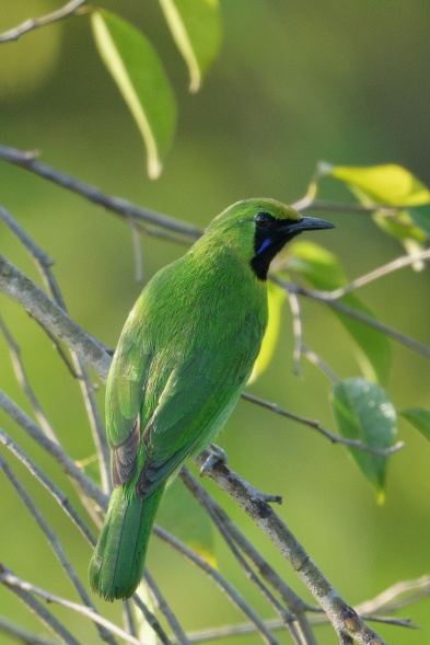 Male Lesser Green Leafbird at Jelutong Tower. Photo credit: Francis Yap