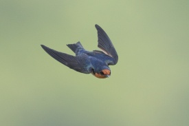 Pacific Swallow at Yishun Dam. Photo credit: Francis Yap