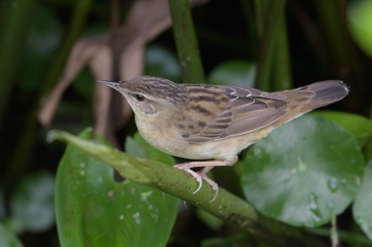 Pallas's Grasshopper Warbler at Sengkang Floating Wetland. Photo credit: Francis Yap