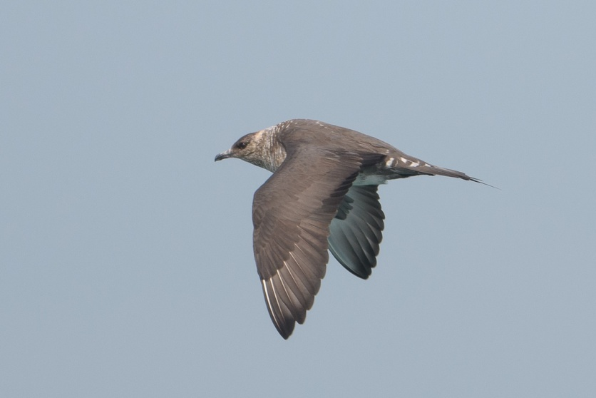 Parasitic Jaeger at Singapore Strait. Photo credit: Francis Yap