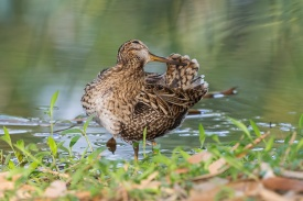 Pin-tailed Snipe at Chinese Garden. Photo credit: Francis Yap