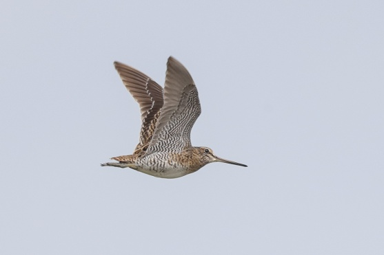 Pin-tailed Snipe at Seletar. Photo credit: Francis Yap