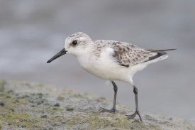 Sanderling at Marina Drive East. Photo credit: Francis Yap.