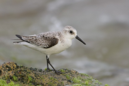 Sanderling at Marina Drive East. Photo credit: Francis Yap