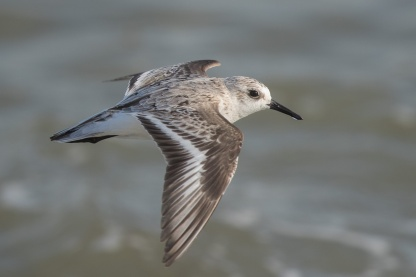 Sanderling at Marina East Drive. Photo credit: Francis Yap