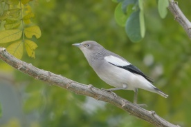White-shouldered Starling at Seletar. Photo credit: Francis Yap