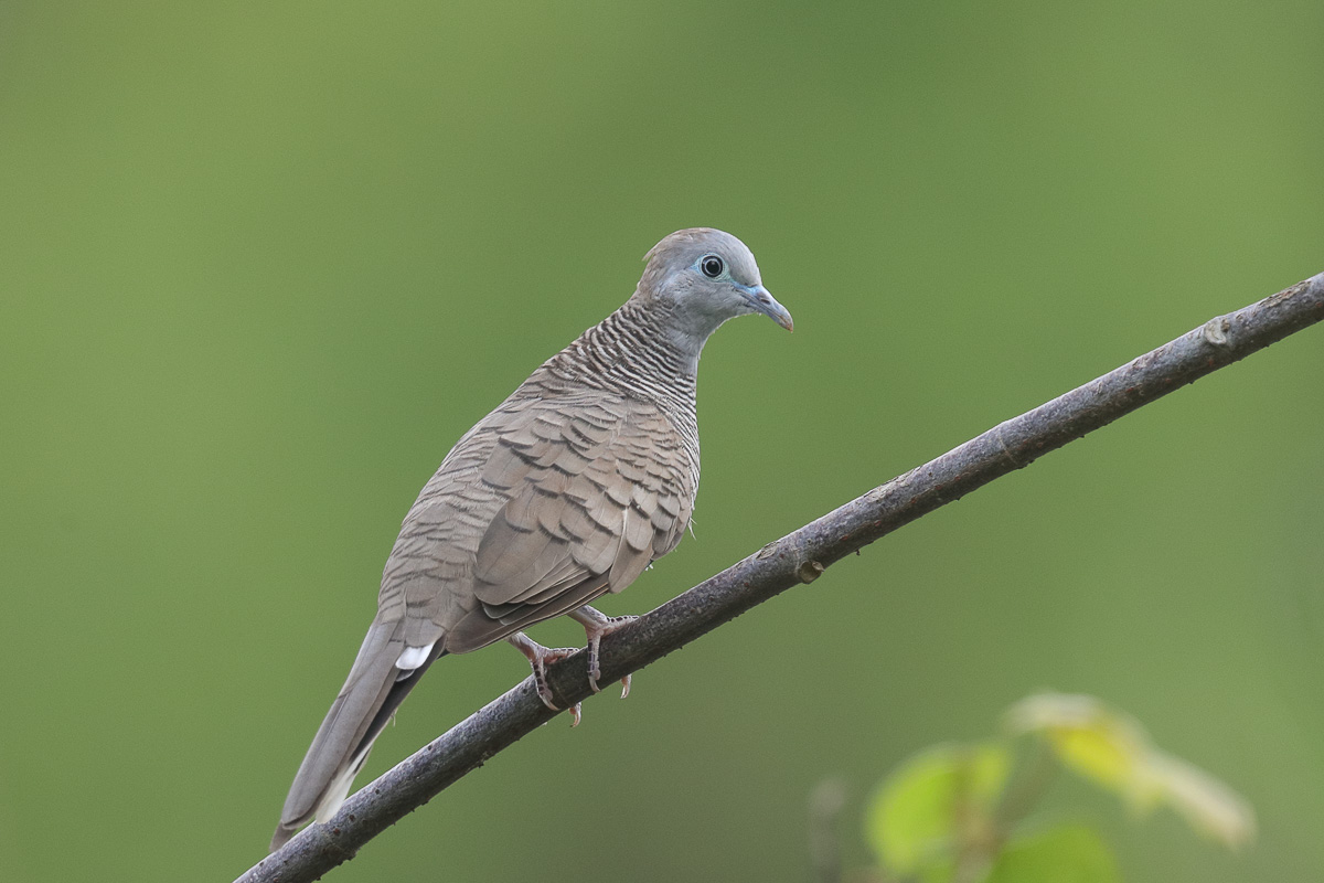 Zebra Dove – Singapore Birds Project