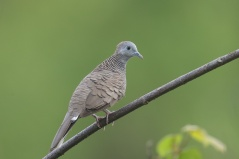 Zebra Dove at Lorong Halus. Photo credit: Francis Yap