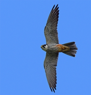 Adult Eurasian Hobby at Corsham Park, Wiltshire, UK. Photo Credit: Pete Blanchard.