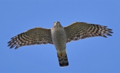 Female Eurasian Sparrowhawk at Clifton Downs, Bristol, UK. Photo Credit: Pete Blanchard.