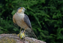 Male Eurasian Sparrowhawk at Powys, Wales. Photo Credit: Pete Blanchard.