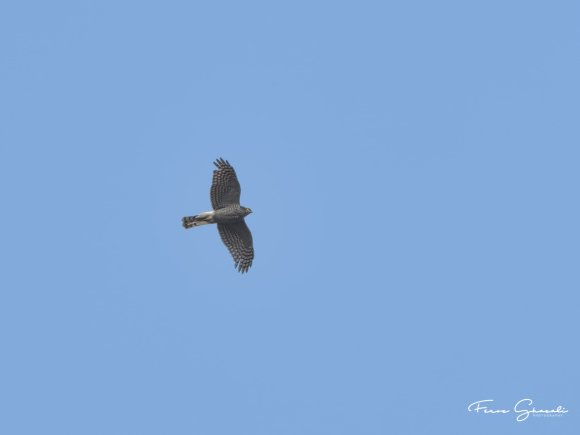 Eurasian Sparrowhawk in flight over Tampines Eco Green. Photo Credit: Feroz Fizah