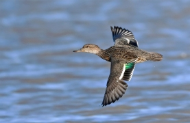 Female Eurasian Teal at WWT Slimbridge, UK. Photo credit: Pete Blanchard