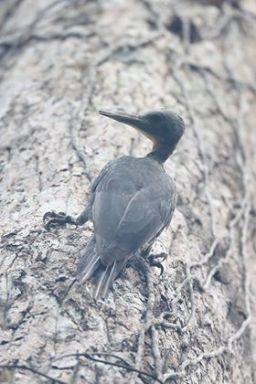 Female Great Slaty Woodpecker at Bukit Timah Nature Reserve. Photo credit: Myron Tay