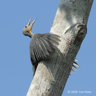 Male Great Slaty Woodpecker at Panti Forest. Photo credit: Con Foley