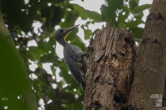 Female Great Slaty Woodpecker at Bukit Timah Nature Reserve. Photo credit: Jerold Tan