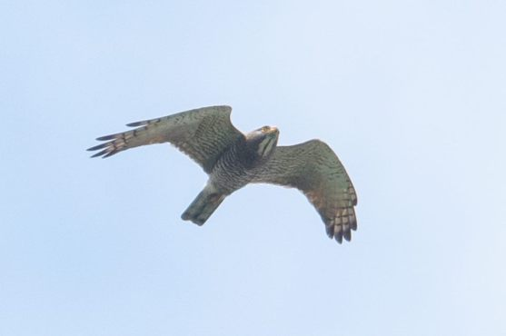 Adult Grey-faced Buzzard at Henderson Wave. Photo Credit: Goh Cheng Teng