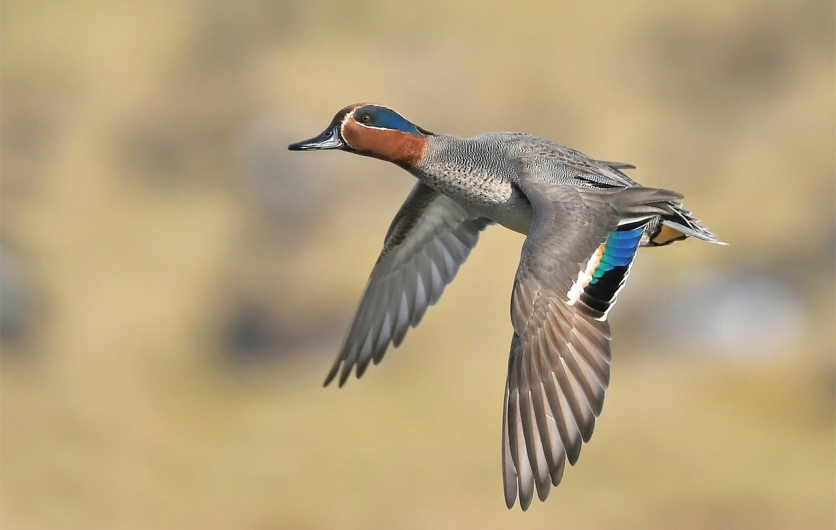 Male Eurasian Teal at WWT Slimbridge, UK. Photo credit: Pete Blanchard