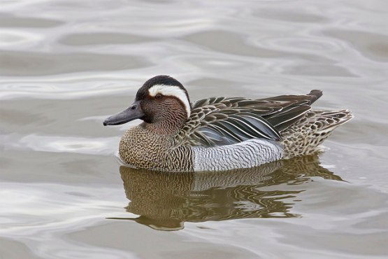 Male Garganey at Norfolk, UK. Photo Credit: Gill McLennan