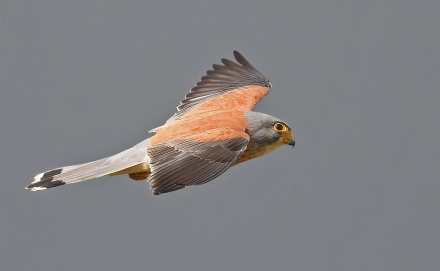 Male Lesser Kestrel at Southern Spain. Photo Credit: Pete Blanchard.